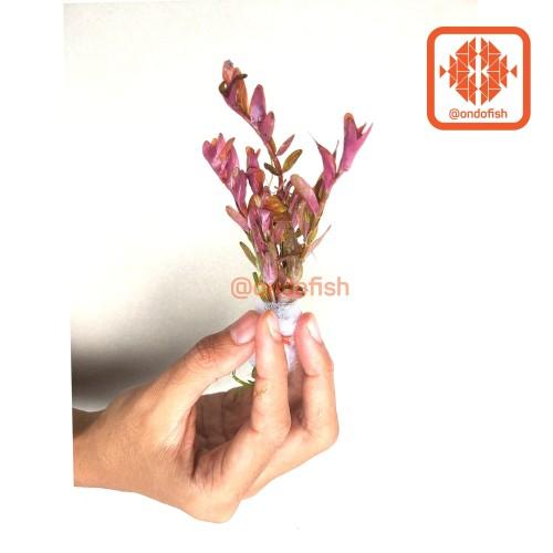 Foto Produk Rotala Indica (Tanaman Hias/ Aquascape) dari ONDOFISH