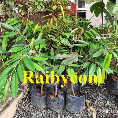 Foto Produk Durian Musang King Asal Bibit TRUBUS Jamin Asli Pohon Buah Musangking dari Raibycom
