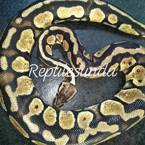 Foto Produk ballpyton pastel female dari reptile sunda