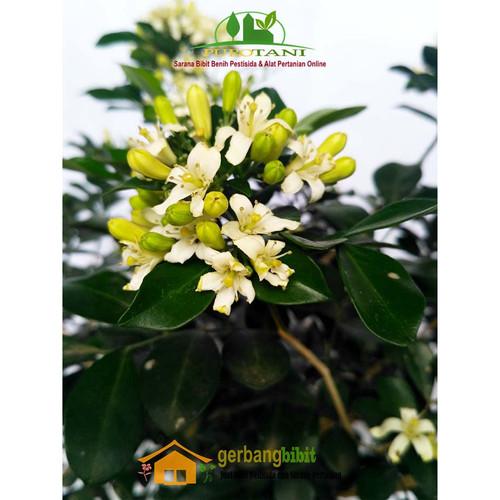 Foto Produk Bibit Bunga Tanaman Hias Kemuning dari Purotani.ID