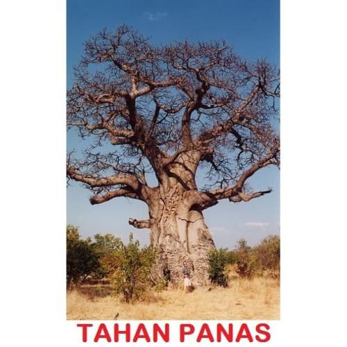 Foto Produk Biji Benih Bibit Baobab Adansonia digitata pohon tahan panas caudex dari Biji Benih