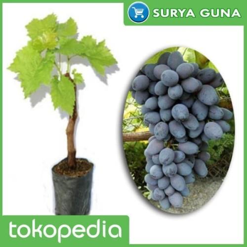 Foto Produk bibit anggur jupiter seedless pohon anggur jupiter dari SuryaGuna