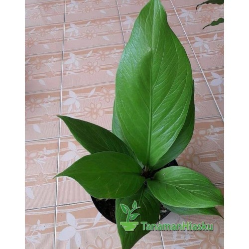 Foto Produk jual Tanaman Anthurium jemani cobra dari grosir Tanamanhiasku Murah