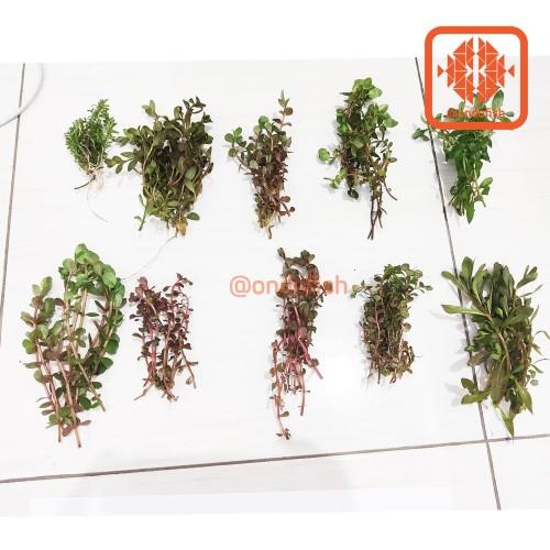 Foto Produk Paket Rotala dutch darat siap tancap tanaman aquascape dari ONDOFISH