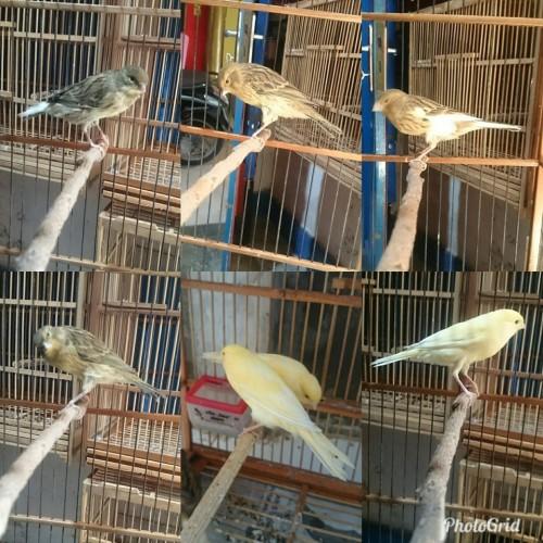 Jual Burung Kenari Afs Sepasang Garansi Jantan Betina Jakarta Selatan Burung Love Bird Kenari Tokopedia