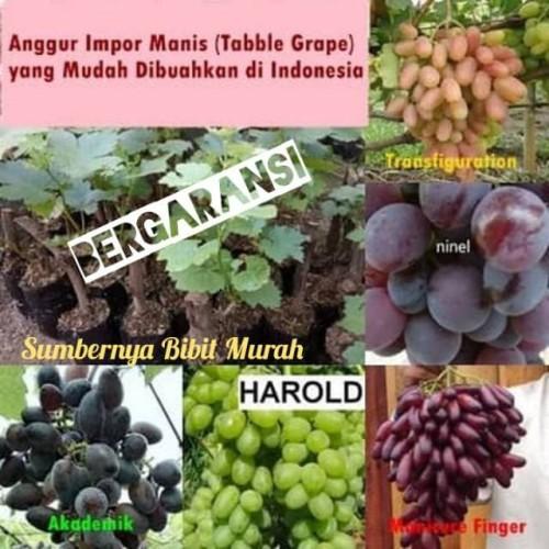 Foto Produk Bibit Anggur Import-Ninel-Transfiguration-Harold-Manicure dari Lestari Bibit Penghijauan