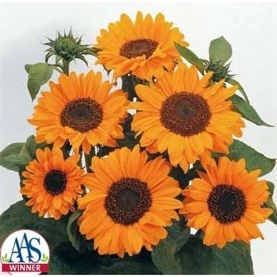 Foto Produk Biji Benih Bibit Sunflower Golden Dwarf Bunga Matahari dari Biji Benih