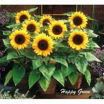 Foto Produk Biji Benih Bibit Sunflower Mini Sun Bunga Matahari dari Biji Benih