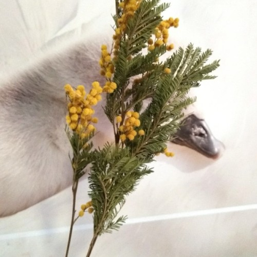 Foto Produk Dried flower Mimosa yellow / preserved flower dari foliage