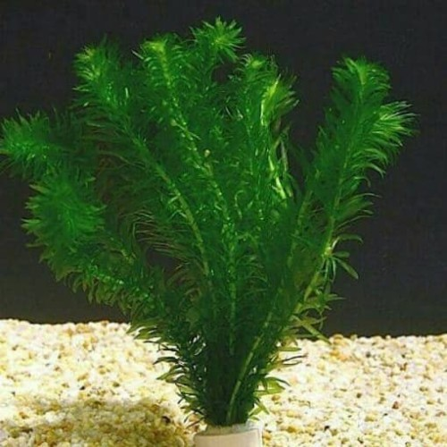 "Foto Produk Tanaman Aquascape "" Hidrilla "" Per Pot dari Nagatawa Ornamental Fish"