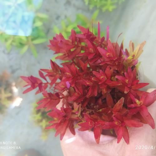 Foto Produk rotala blood red dari Ariaquatic