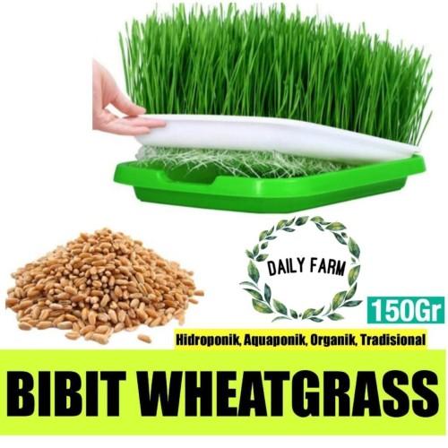 Foto Produk Cat Grass Seed seeds / Benih Rumput Makanan Kucing 150 gram dari Damai-Shop