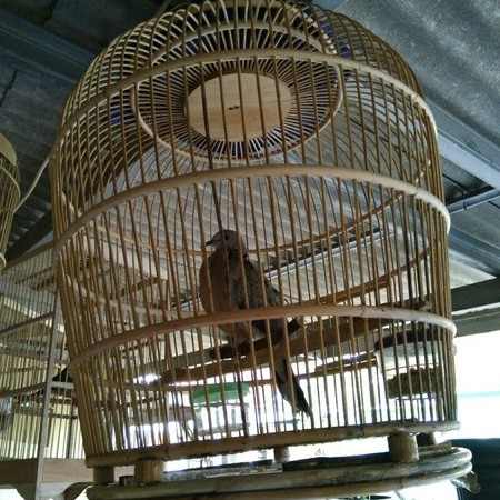 Foto Produk Burung Tekukur atau Derkuku Kelantan KUK 2 LANGKA dari wijaya4store
