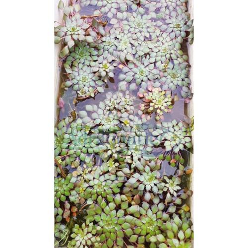 Foto Produk TANAMAN AQUASCAPE MOSAIC PLANT APUNG MOSSAIC dari ADRAQUATIC