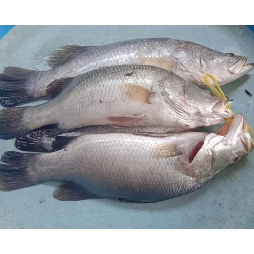 Foto Produk Jual Promo Ikan Kakap Putih Segar 1KG dari Cobryzen Shop