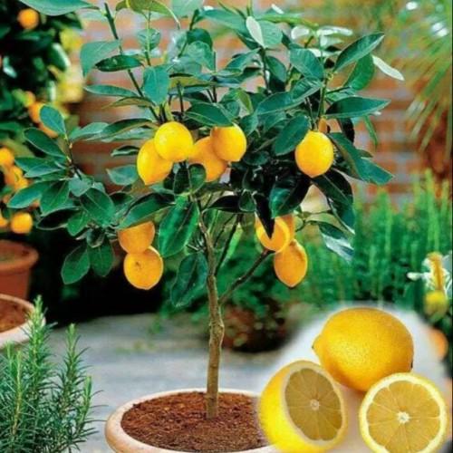 Foto Produk PAKET HEMAT dan BERBUAH dapat 2 tanaman jeruk lemon impor dari larisbibit