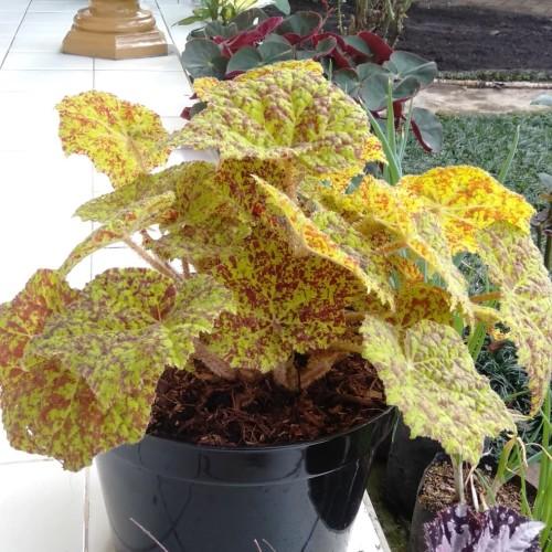 Foto Produk tanaman hias begonia kuning dari sv florist