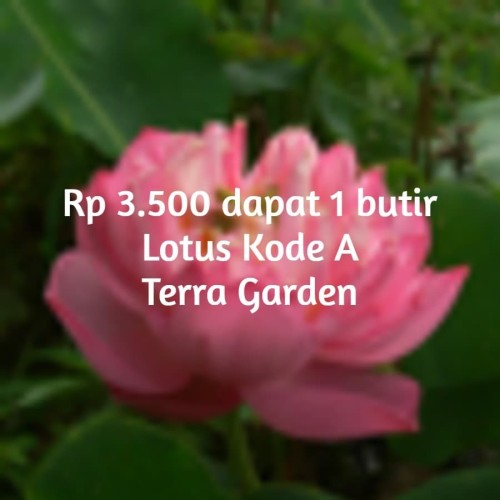 Foto Produk Benih Biji Lotus Kode A Seroja Nelumbo seeds ecer dari Terra Garden