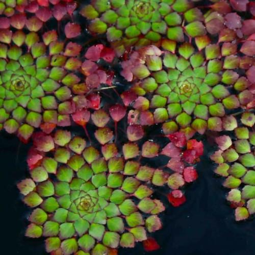 Foto Produk tanaman air floating   tanaman ludwigia sedioides. dari MALA TAMAN
