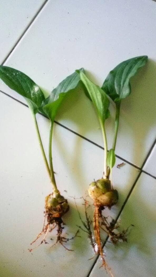 Jual Tanaman Keladi Tikus Lengkap Akar Umbi Batang Daun Grade A Organik Kab Bogor Spesialis Herbal Serbuk Tokopedia