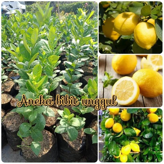 Jual Bibit Jeruk Lemon Import Amerika Kota Metro Anekaa Bibit Unggul Tokopedia