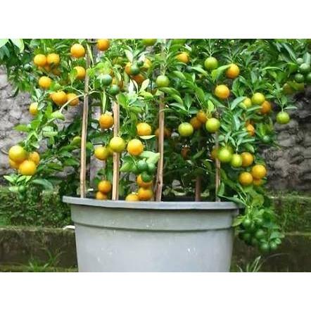 Jual Flash Sale Tanaman Buah Jeruk Lemon Cui Pohon Buah Lemon Cuy Promo Jakarta Selatan Sirins Shoop Tokopedia