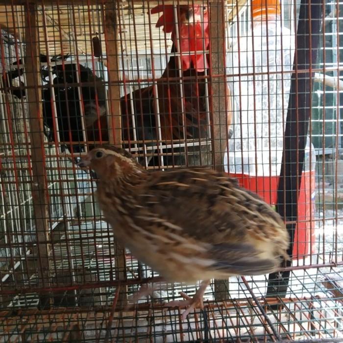 Jual Burung Puyuh Hidup Kota Depok Alfaatt Farm Tokopedia
